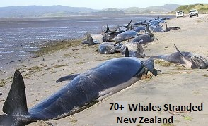 2.stranded-whales-newzealand